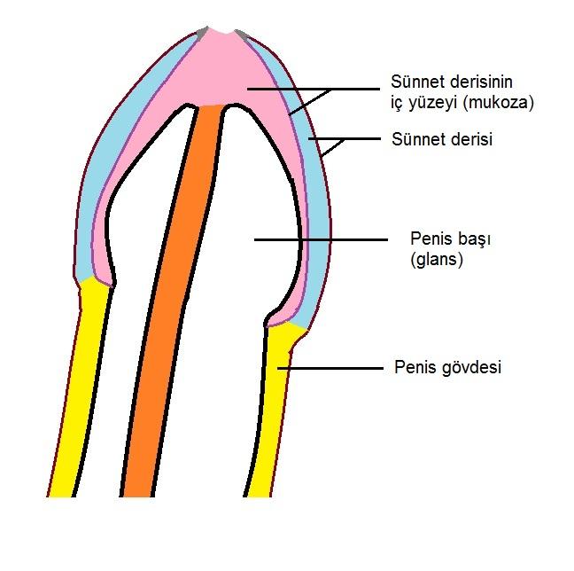 resim 1- penis anatomisi